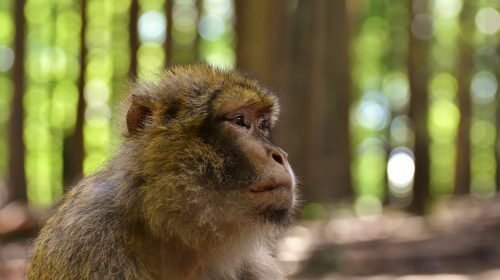monkey endangered 500x280 - It's Their Endangered World Too: How Global Warming Has Affected European Wildlife